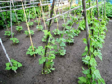 Snijbonen planten